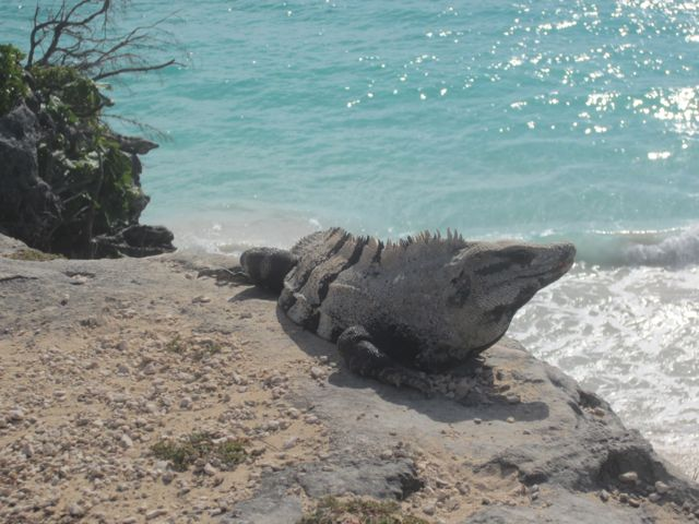 we saw a lot of these guys at Tulum