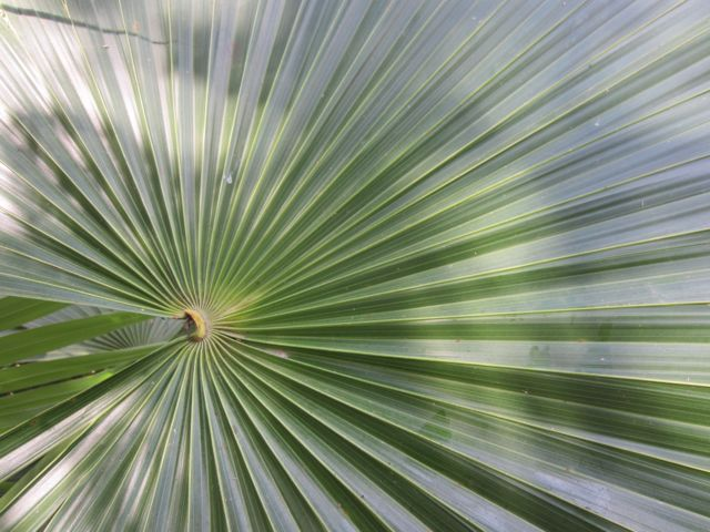 the precise architexture of the fan palm