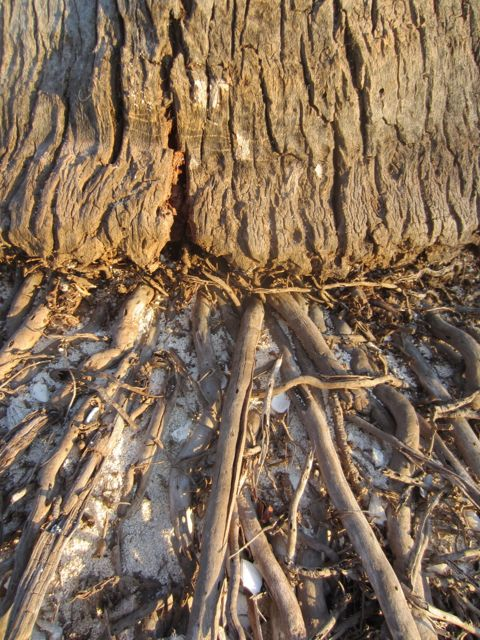 coconut palm trunk and exposed roots