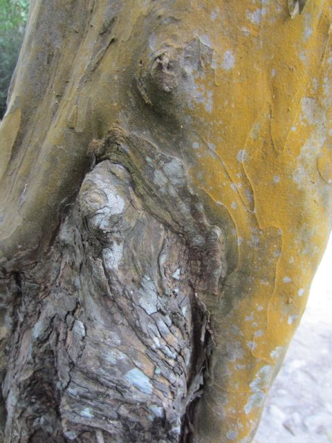 here the live outer layer of bark is growing around a dead area